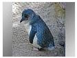 Little Blue Penguin Jigsaw