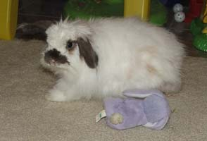 An American Fuzzy Lop Rabbit
