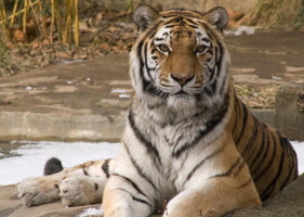 a to z kids stuff siberian tiger facts for children