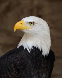 A to Z Kids Stuff American Bald Eagle