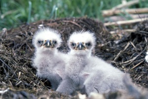 Baby Eagle Chicks