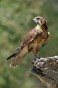 https://www.atozkidsstuff.com/images/birdsofprey/falcons/BrownFalcon.jpg