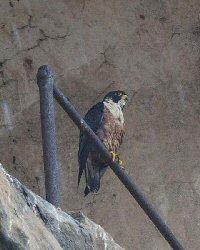 https://www.atozkidsstuff.com/images/birdsofprey/falcons/falco_peregrinator.jpg