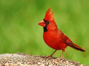 A To Z Kids Stuff Cardinal Bird Facts For Children