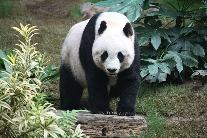 Giant Panda Facts for Children | A to Z Kids Stuff