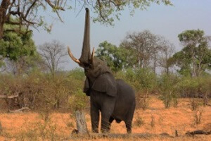 African elephant reaching up for leaves