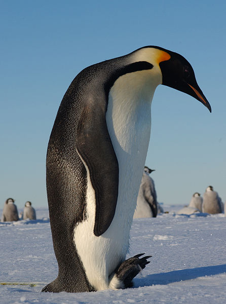 Penguins have short legs and when they want to move fast they slide