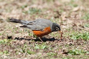 American Robin And A Worm